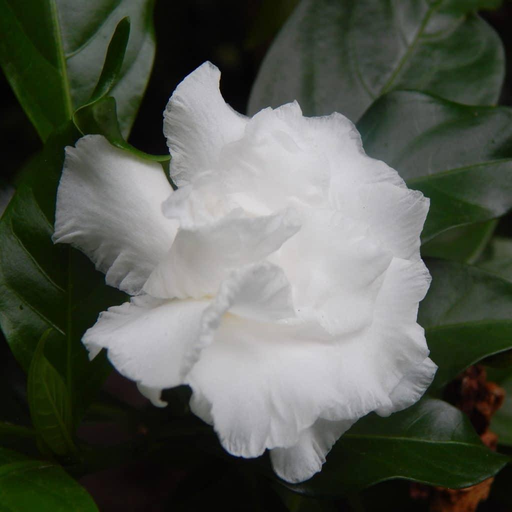 Gardenie delikatne białe kwiatki