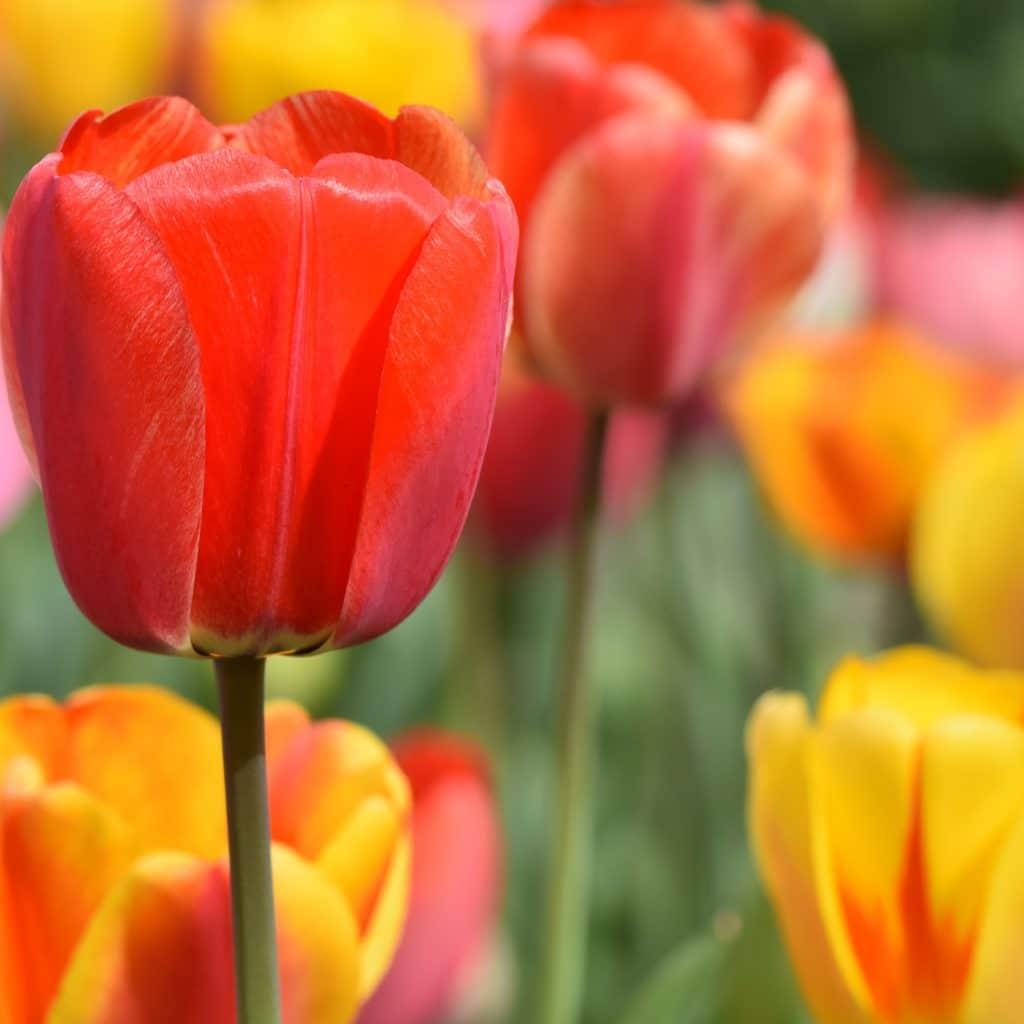 Tulipany eleganckie kwiaty ślubne