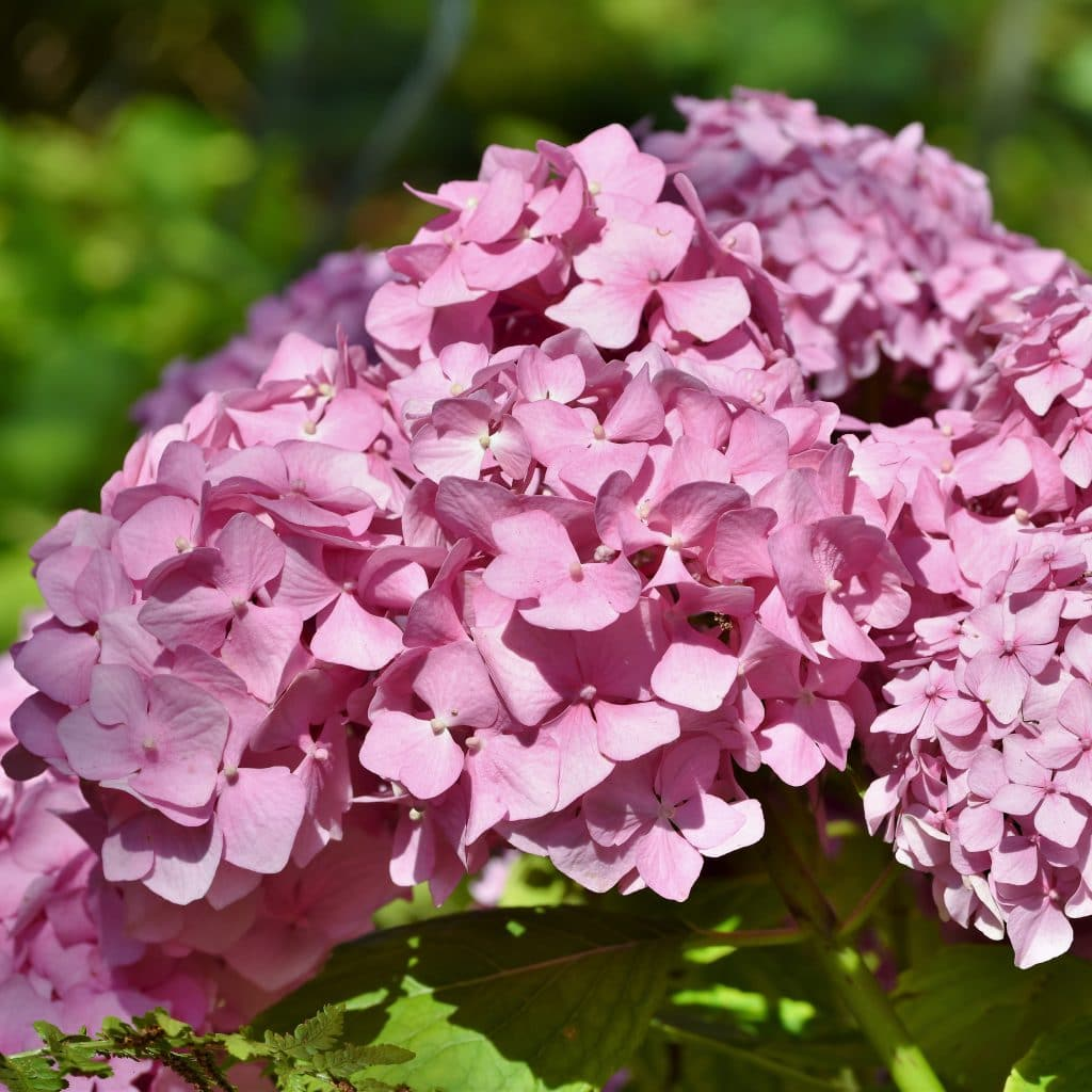 Hortensje duże kwiaty do dekoracji