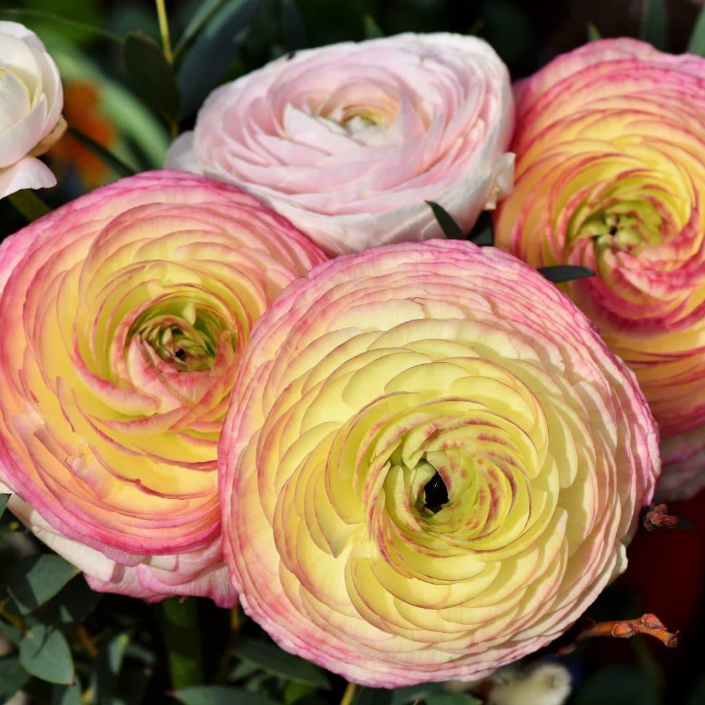 Jaskry wdzięczne wielowarstwowe kwiaty