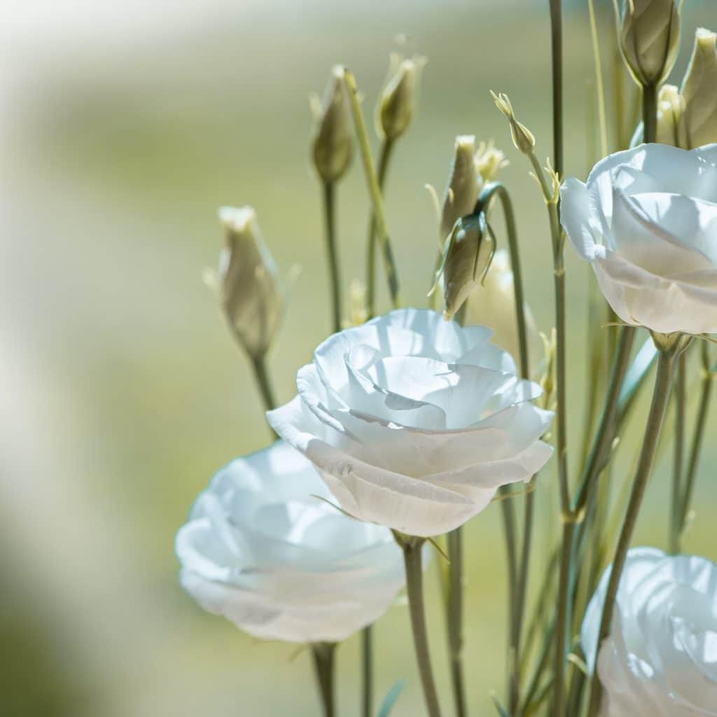 Eustoma popularny zamiennik róży